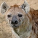 hyena-1099073_1280